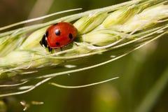 Ladybug on wheat ear Royalty Free Stock Image