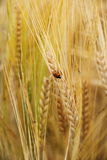 Ladybug on wheat ears down Stock Images