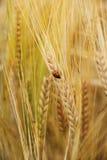 Ladybug on wheat ears down Stock Images