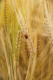 Ladybug on wheat ears down Royalty Free Stock Image