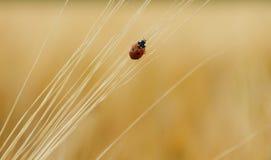 Ladybug on wheat ears goes up Royalty Free Stock Image