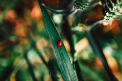 Ladybug in Wheat Field. Selective Focus Stock Image