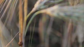 Ladybug on wheat at sunset stock video