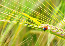 Ladybug. Wheat yellow insect kent spring Stock Photography