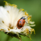 Ladybug on white Royalty Free Stock Images