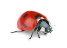 Ladybug on white background Stock Photos