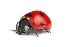 Ladybug on white background Royalty Free Stock Photos
