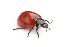 Ladybug on white background Stock Photography