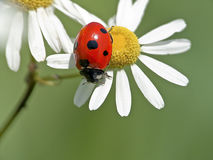 Ladybug on white daisies Stock Photo