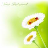 Ladybug on White daisy flower. Lovely green background with Ladybird on daisy flower Stock Image
