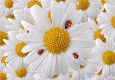 Ladybug on white daisy petals royalty free stock image