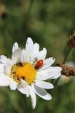 Ladybug on a White Daisy. A red ladybug on a large white daisy Royalty Free Stock Photo