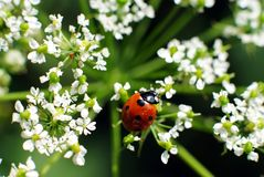 Ladybug on white flower. Natural light Royalty Free Stock Photo