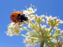 Ladybug on white flower. On blue background Stock Photo