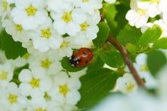 Ladybug and  white flower. Royalty Free Stock Photography
