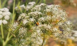 Ladybug on the white flower Stock Images