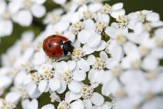 Ladybug on white flowers Stock Image