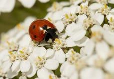 Ladybug on white flowers Stock Photography