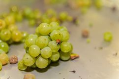 Ladybug on the white grapes in a steel table royalty free stock photos