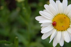 Ladybug on a White and Yellow Flower Royalty Free Stock Photography