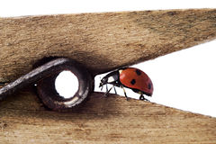 Ladybug on wodden clothes-peg Royalty Free Stock Photos