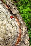 Ladybug in the wood Stock Images
