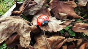 Ladybug in the woods Royalty Free Stock Photos