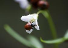 Ladybug y flor Imagen de archivo libre de regalías