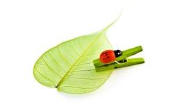 Ladybug y hoja Fotos de archivo libres de regalías