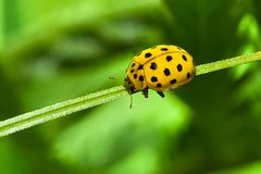 Ladybug of yellow Stock Photos