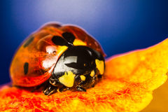 Ladybug on yellow. Autumn leaves Stock Photos