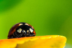 Ladybug on yellow. Autumn leaves Royalty Free Stock Photography
