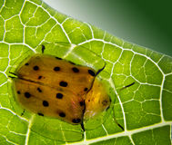 Ladybug. Yellow with black spots, extended exoskeleton skirt is transparent at the hem, eat leaves Royalty Free Stock Photos
