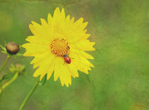 Ladybug on yellow coreopsis flower Royalty Free Stock Photos