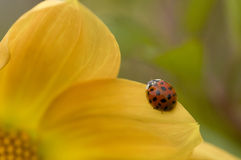 Ladybug on yellow Dahlia Stock Photos