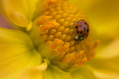 Ladybug on yellow Dahlia Royalty Free Stock Images