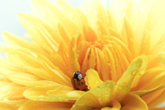 Ladybug on Yellow Daisy Royalty Free Stock Photography