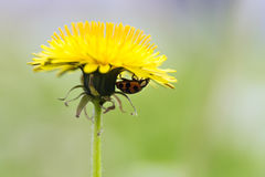 Ladybug on yellow dandelion Stock Photography