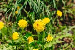 The ladybug on a yellow dandelion Royalty Free Stock Photography