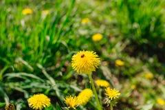 The ladybug on a yellow dandelion Stock Image