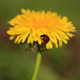 Ladybug on a Yellow Flower Royalty Free Stock Photo