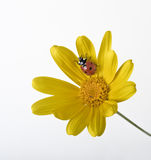 Ladybug on Yellow flower Stock Image