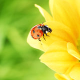 Ladybug on yellow flower Stock Images