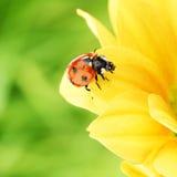 Ladybug on yellow flower Stock Images
