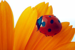 Ladybug on yellow flower Royalty Free Stock Image