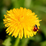 Ladybug on a Yellow Flower Stock Photo