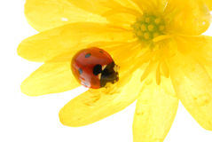 Ladybug on yellow flower Royalty Free Stock Photos