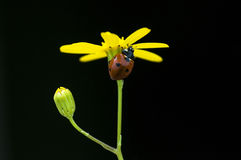 Ladybug on yellow flower Royalty Free Stock Images