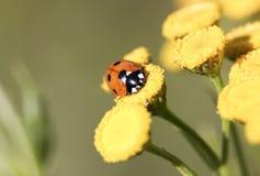 Ladybug on Yellow Flower. Close up Stock Photo
