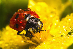 Ladybug, on  yellow flower Stock Photo